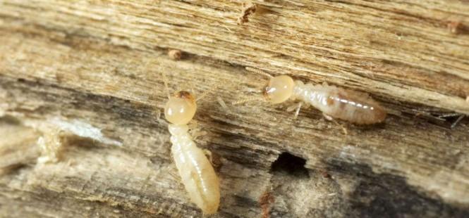 devis traitement contre les termites 3 devis gratuits. Black Bedroom Furniture Sets. Home Design Ideas
